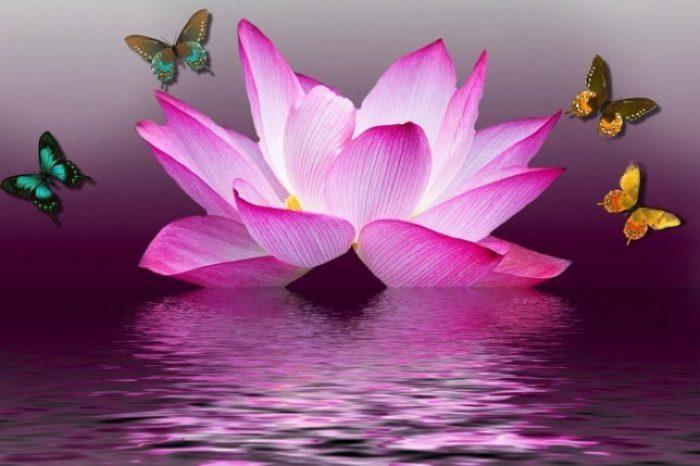 butterflies around lotus