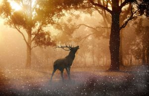 moose calling in forest